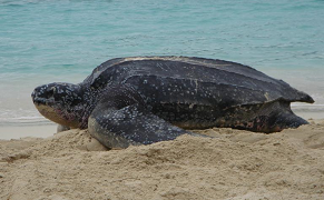 Leatherback Turtle nesting on Trunk Bay Beach